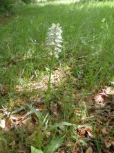 Wiite orchidee op camping Domaine Le Clot Lacaune